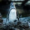 Galapagos Penguin, Isla Isabela, Galápagos