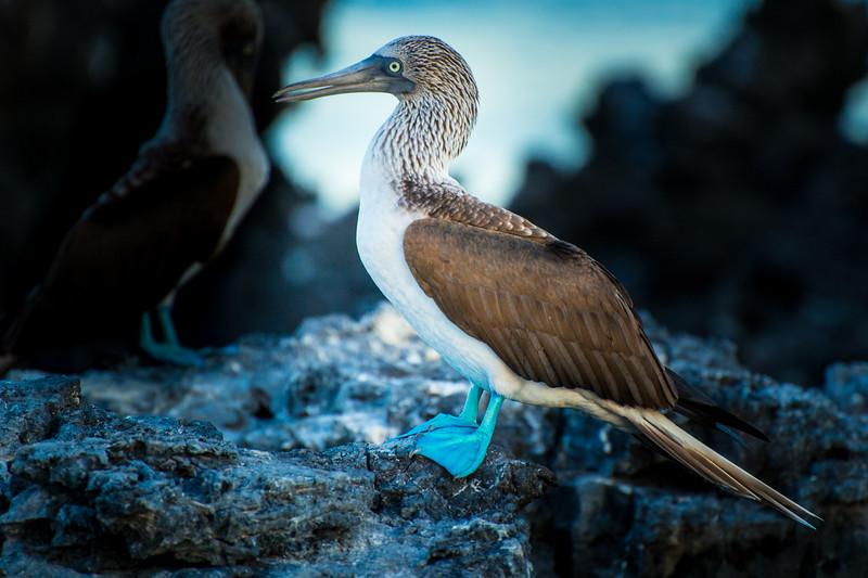 Blue footed boobie, Isla Isabela, Galápagos