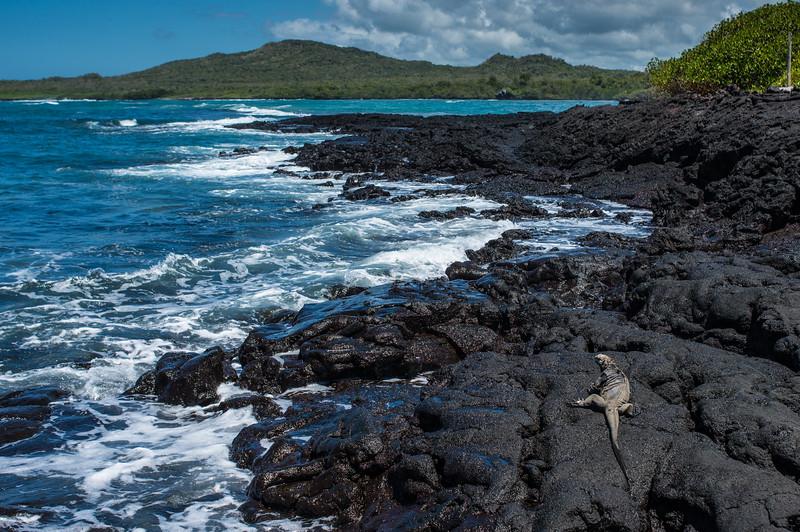 Marine iguana on the shore, Isla Isabela, Galápagos, Ecuador
