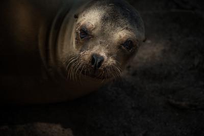 Young sea lion, Isla San Cristóbal, Galápagos