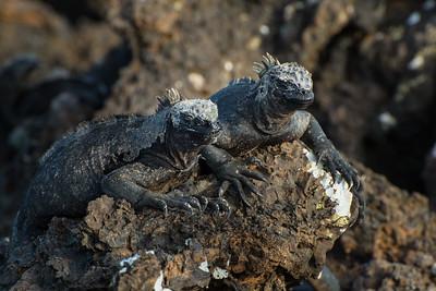 Marine Iguanas, Isla Isabela, Galápagos