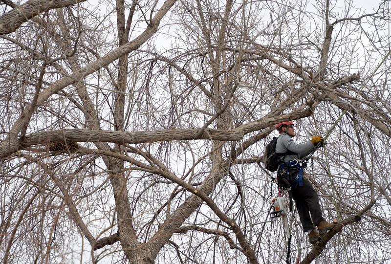 ASH TREE TRIMMING