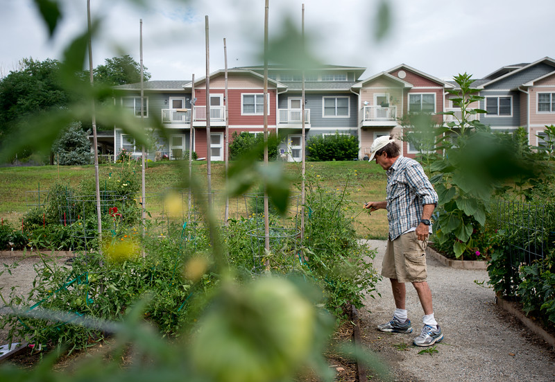 """Bob Dressler prunes his tomato plants in the new Louisville Community Garden on Friday. The City of Louisville has completed its first ever community vegetable garden.<br /> More photos:  <a href=""""http://www.dailycamera.com"""">http://www.dailycamera.com</a><br /> (Autumn Parry/Staff Photographer)<br /> August 5, 2016"""