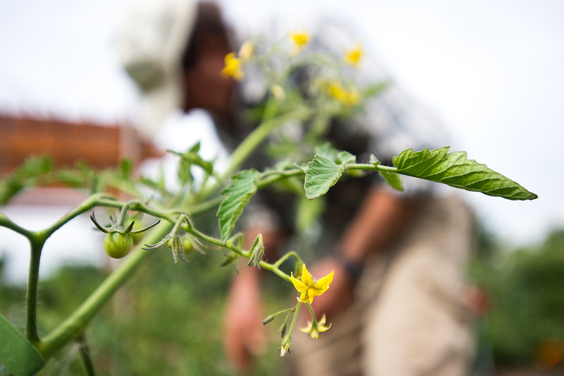 """Cherry tomatoes begin to sprout from Bob Dressler's plants in the new Louisville Community Garden on Friday. The City of Louisville has completed its first ever community vegetable garden.<br /> More photos:  <a href=""""http://www.dailycamera.com"""">http://www.dailycamera.com</a><br /> (Autumn Parry/Staff Photographer)<br /> August 5, 2016"""