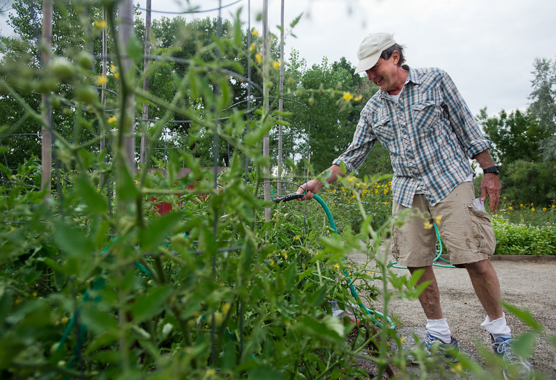 "Bob Dressler waters his tomato plants in the new Louisville Community Garden on Friday. The City of Louisville has completed its first ever community vegetable garden.<br /> More photos:  <a href=""http://www.dailycamera.com"">http://www.dailycamera.com</a><br /> (Autumn Parry/Staff Photographer)<br /> August 5, 2016"