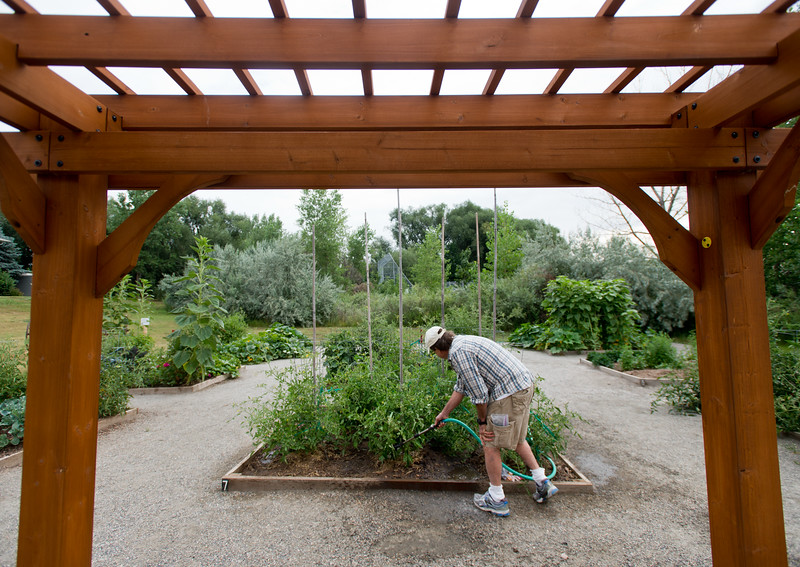 """Bob Dressler waters his tomato plants in the new Louisville Community Garden on Friday. The City of Louisville has completed its first ever community vegetable garden.<br /> More photos:  <a href=""""http://www.dailycamera.com"""">http://www.dailycamera.com</a><br /> (Autumn Parry/Staff Photographer)<br /> August 5, 2016"""