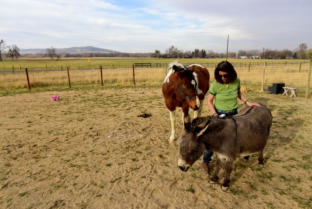. Amanda Dumenigo, a resident of unincorporated Boulder County, brushes a donkey named Donkey as Lakota stands nearby on Wednesday. More photos: DailyCamera.com. Matthew Jonas/Staff Photographer March 22,  2017