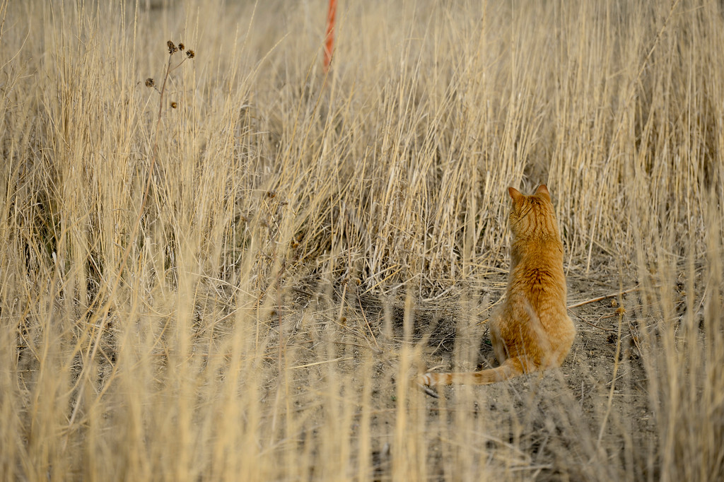 . A cat sits in a field near Hygiene Road in unincorporated Boulder County on Wednesday. More photos: DailyCamera.com. Matthew Jonas/Staff Photographer March 22,  2017