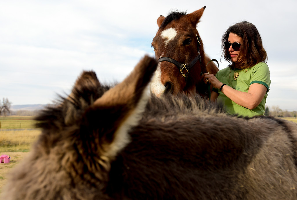 . Amanda Dumenigo, a resident of unincorporated Boulder County, adjust a bridal on a Lakota as Donkey stands nearby on Wednesday. More photos: DailyCamera.com. Matthew Jonas/Staff Photographer March 22,  2017