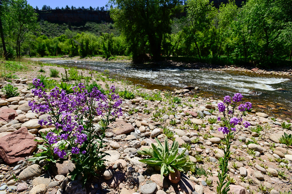 . Flowers grow next to the St. Vrain River in Lyons on Monday. Across from this location, off Apple Valley Road, is a proposed festival camping site. Planet Bluegrass has submitted a letter of intent which states that they plan on using a piece of property to the west of Planet Bluegrass Ranch as farmland, but also as a place for up to 1,200 people attending larger festivals like the Folks Festival and RockyGrass to camp out and park. More photos: DailyCamera.com. Matthew Jonas/Staff Photographer May 15,  2017