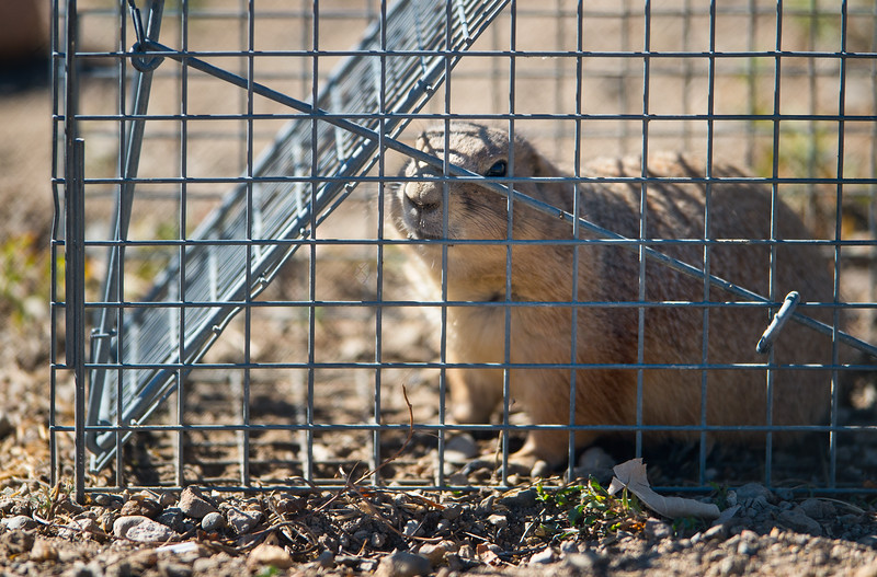 "A prairie dog is seen trapped in a cage at the old Armory property in north Boulder on Friday. Boulder officials have set traps to capture and relocate prairie dogs to an area east of Cherryvale Road and north of Marshall Drive, before the land is redeveloped. <br /> More photos:  <a href=""http://www.dailycamera.com"">http://www.dailycamera.com</a><br /> (Autumn Parry/Staff Photographer)<br /> October 7, 2016"