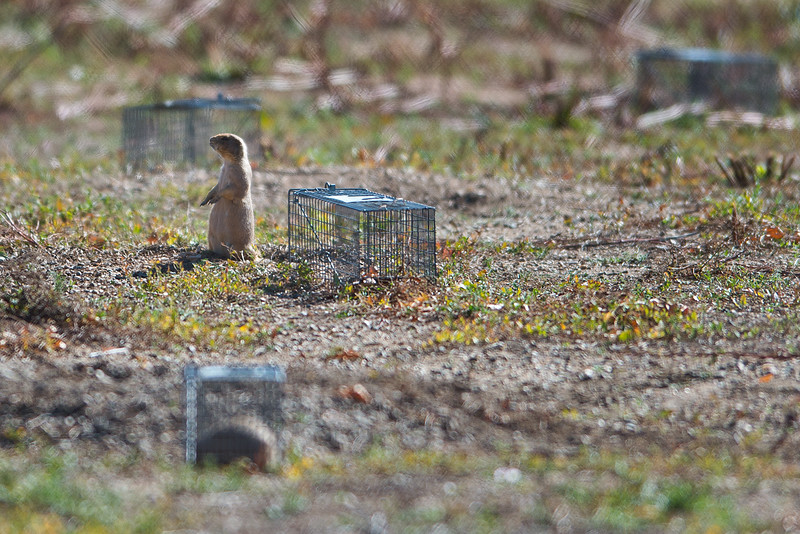 "A prairie dog roams around cages at the old Armory property in north Boulder on Friday. Boulder officials have set traps to capture and relocate prairie dogs to an area east of Cherryvale Road and north of Marshall Drive, before the land is redeveloped. <br /> More photos:  <a href=""http://www.dailycamera.com"">http://www.dailycamera.com</a><br /> (Autumn Parry/Staff Photographer)<br /> October 7, 2016"