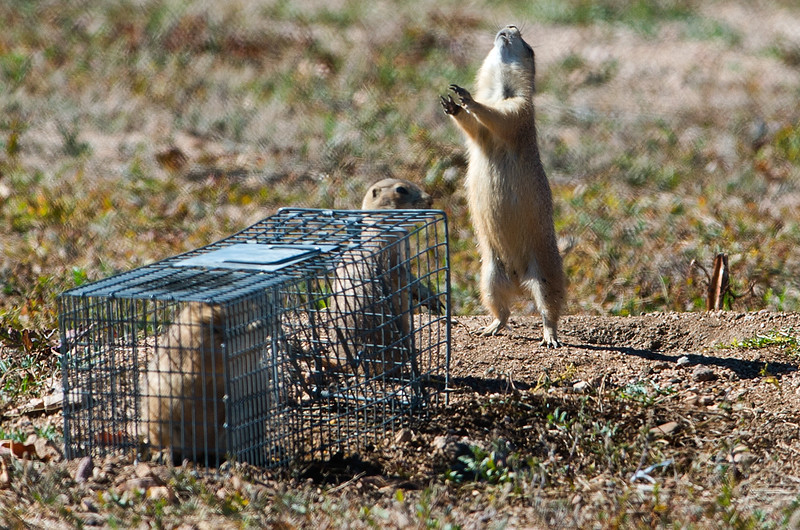 "A prairie dog barks after another prairie dog was trapped in a cage on the old Armory property in north Boulder on Friday. Boulder officials have set traps to capture and relocate prairie dogs before the land is redeveloped. <br /> More photos:  <a href=""http://www.dailycamera.com"">http://www.dailycamera.com</a><br /> (Autumn Parry/Staff Photographer)<br /> October 7, 2016"