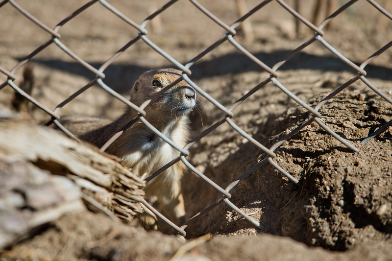 "A prairie dog looks out from a burrow at the old Armory property in north Boulder on Friday. Boulder officials have set traps to capture and relocate prairie dogs to an area east of Cherryvale Road and north of Marshall Drive, before the land is redeveloped. <br /> More photos:  <a href=""http://www.dailycamera.com"">http://www.dailycamera.com</a><br /> (Autumn Parry/Staff Photographer)<br /> October 7, 2016"