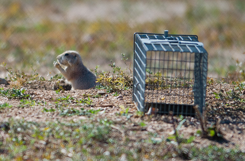 "A prairie dog is seen near a cage at the old Armory property in north Boulder on Friday. Boulder officials have set traps to capture and relocate prairie dogs to an area east of Cherryvale Road and north of Marshall Drive, before the land is redeveloped. <br /> More photos:  <a href=""http://www.dailycamera.com"">http://www.dailycamera.com</a><br /> (Autumn Parry/Staff Photographer)<br /> October 7, 2016"