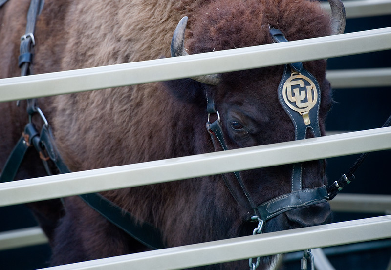 "Ralphie waits in a caged area while the handlers prepare to practice running with Ralphie on Folsom Field at CU Boulder on Friday. <br /> More photos:  <a href=""http://www.dailycamera.com"">http://www.dailycamera.com</a><br /> (Autumn Parry/Staff Photographer)<br /> October 14, 2016"