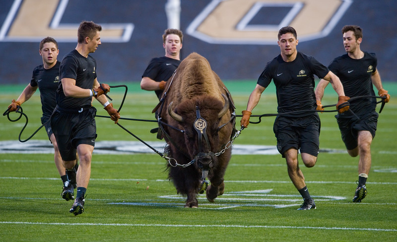 "From left to right, handlers Dylan Bernstein, Bobby Rukavina, Colton Beth, Jacob Torres and Adam Deutsch practice running with Ralphie on Folsom Field at CU Boulder on Friday. <br /> More photos:  <a href=""http://www.dailycamera.com"">http://www.dailycamera.com</a><br /> (Autumn Parry/Staff Photographer)<br /> October 14, 2016"