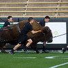 "Handlers practice running with Ralphie on Folsom Field at CU Boulder on Friday.  <br /> More photos:  <a href=""http://www.dailycamera.com"">http://www.dailycamera.com</a><br /> (Autumn Parry/Staff Photographer)<br /> October 14, 2016"