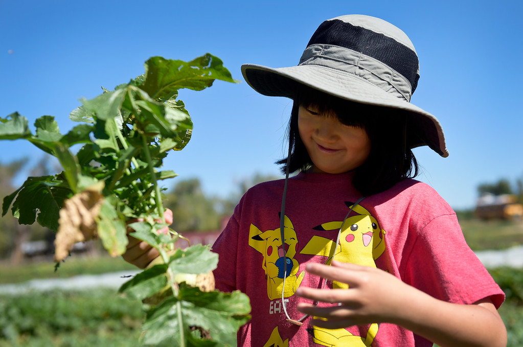 . LONGMONT, CO - SEPTEMBER 12, 2018: Heatherwood Elementary second grader Analia Exklund harvests a watermelon radish at Ollin Farms Sept. 12. Thanks to a grant from the USDA AMS Local Food Promotion Program, the BVSD School Food Project is able to send groups of students from around the district to local farms to learn from the farmers themselves. (Photo by Lewis Geyer/Staff Photographer)