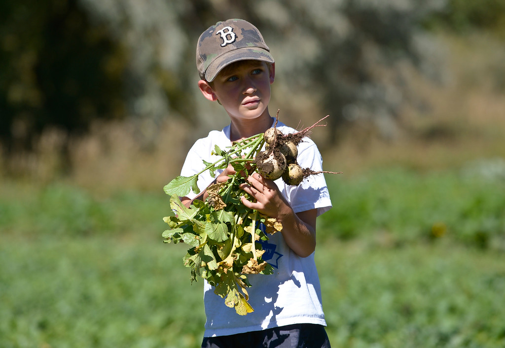 . LONGMONT, CO - SEPTEMBER 12, 2018: Heatherwood Elementary second grader Liam Landrigan holds watermelon radishes he picked at Ollin Farms Sept. 12. Thanks to a grant from the USDA AMS Local Food Promotion Program, the BVSD School Food Project is able to send groups of students from around the district to local farms to learn from the farmers themselves. (Photo by Lewis Geyer/Staff Photographer)