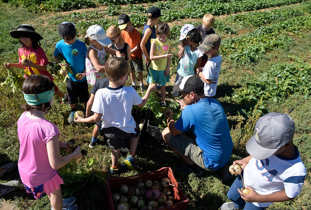 . LONGMONT, CO - SEPTEMBER 12, 2018: Heatherwood Elementary second graders help Mark Guttridge pick watermelon radishes at Ollin Farms Sept. 12. Thanks to a grant from the USDA AMS Local Food Promotion Program, the BVSD School Food Project is able to send groups of students from around the district to local farms to learn from the farmers themselves. (Photo by Lewis Geyer/Staff Photographer)
