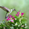 (HU3) Ruby Throated Hummingbird feeding on Purple Fountains Skullcap