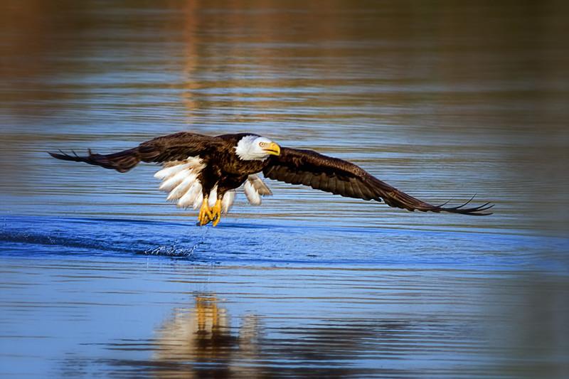 (EA7) Eagle with fish