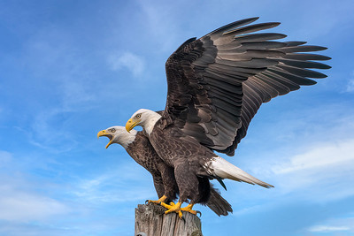 (EA16) Bald Eagles