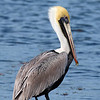 (C48) Brown Pelican at Mosquito Lagoon, Florida