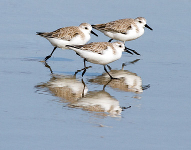 (SB27) Sanderlings (Sandpiper Family)