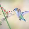Female Ruby Throated Hummingbird feeding on Russellia Sarmentosa