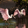 (RS2) Roseate Spoonbills at Merritt Island Refuge
