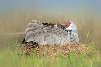 (SC62) Sandhill Cranes