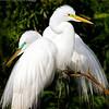 (EG66) Great Egrets in Breeding Plumage
