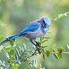 (B11) Florida Scrub Jay