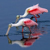Juvenile and Adult  Roseate Spoonbills - Merritt Island National Wildlife Refuge