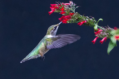 (HU8) Ruby Throated Hummingbird Feeding on Russelia Sarmentosa