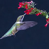 (HU8) Ruby Throated Hummingbird Feeding on Russelia Sarmentosa