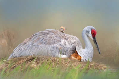 (SC56) Sandhill Cranes on Nest