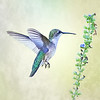 Ruby Throated  Hummingbird feeding on Blue Salvia