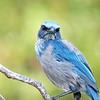 I.D. #2<br /> Florida Scrub Jay - Lyonia Preserve, Deltona, FL