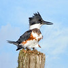 Female Belted Kingfisher -   Lemon Bluff, Osteen (Central Florida)