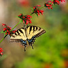 (A78) Eastern Tiger Swallowtail