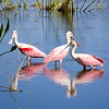 Roseate Spoonbills at Orlando Wetlands Park