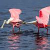 Roseate Spoonbills - Merritt Island Wildlife Refuge