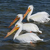 White Pelicans at Oak Hill, Florida