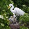 (EG60) Great Egret on Nest