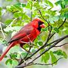 (C155) Cardinal