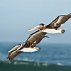 Brown Pelicans in fly-over at New Smyrna Beach