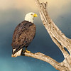 (EA12) Bald Eagle